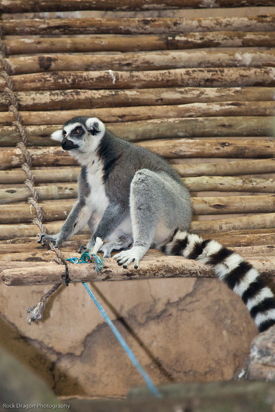 Ring Tailed Lemur, Calgary Zoo Dec. 27