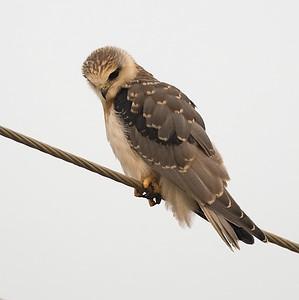 Blackshouldered Kite