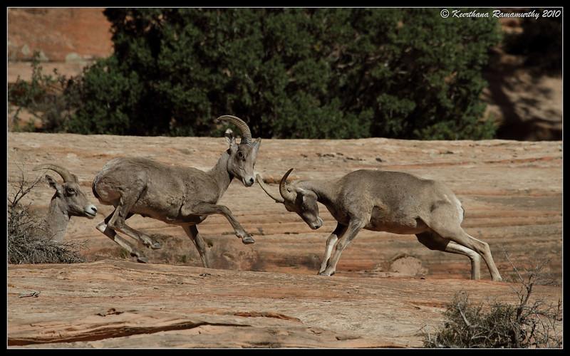 Big Horn Sheep, Zion National Park, Utah, May 2010