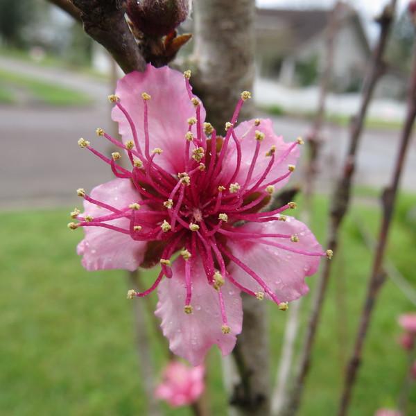 peach tree blossom.JPG