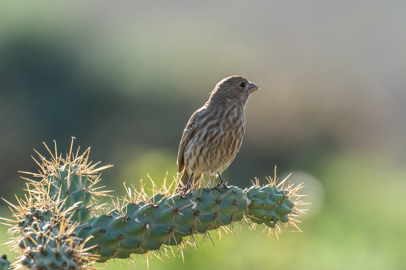 Bolsa Chica Ecological Reserve, House Finch (Haemorhous mexicanus)