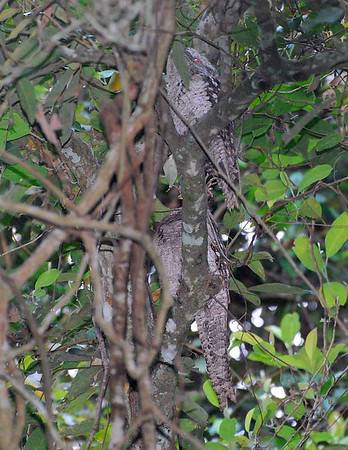 Frogmouths and Nightjars