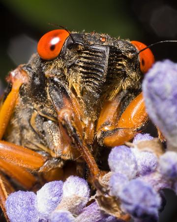 Hoppers & Cicadas