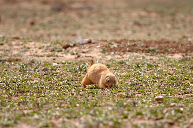 Prairie Dog-7
