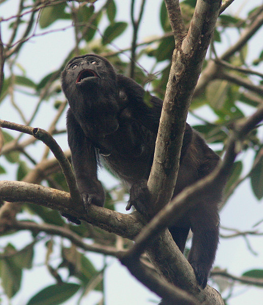 Howler Monkey, Pipeline Trail