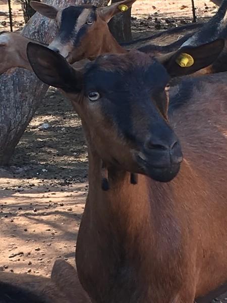 goat closeup- italy.JPG