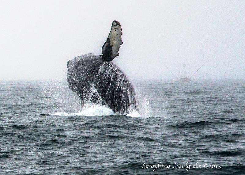 _DSC1248Breeching whale.jpg