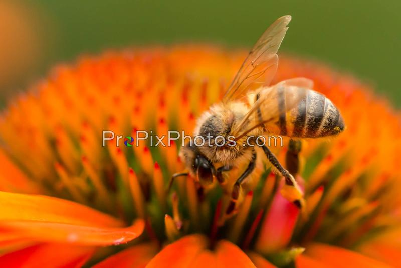 Bees at Dallas Arboretum 5-13-15