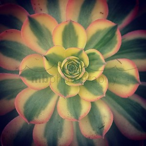And the seasons they go round and round...And the painted ponies go up and down...We're captive on the carousel of time...We can't return we can only look...Behind from where we came... And go round and round and round...In the circle game... #jonimitchell #patterns #time #fractals #succulent #ip_blossoms #ip_connect