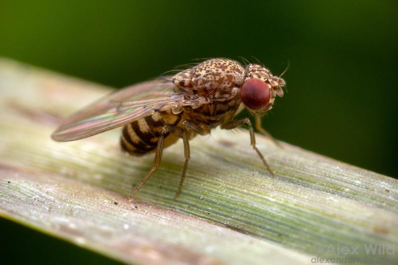 Drosophila repleta