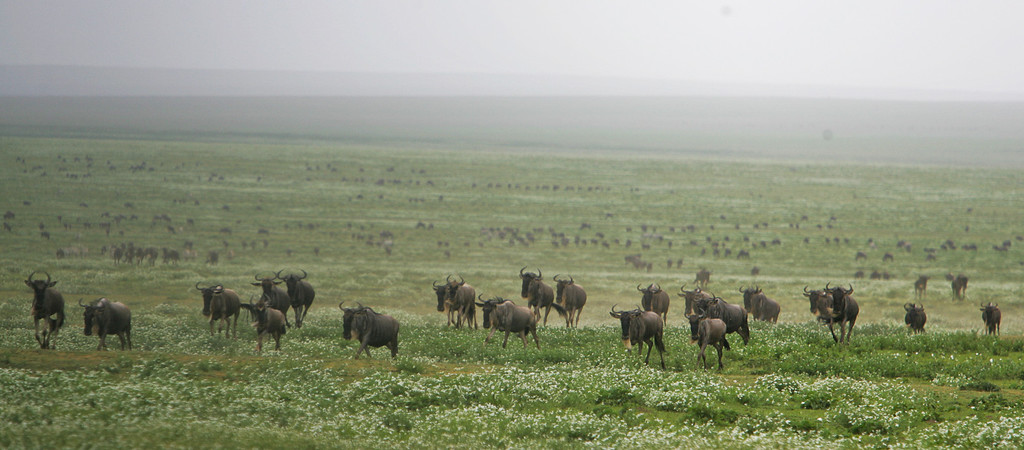 . A herd of Wildebeest pass across the grasslands during their annual migration in Serengeti National Park, Tanzania, Africa.