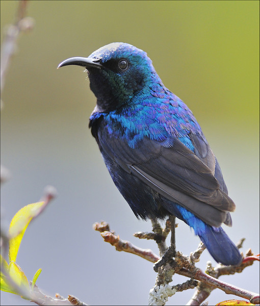 Resplendent colors.... , Purple Sunbird ( breeding plumage )