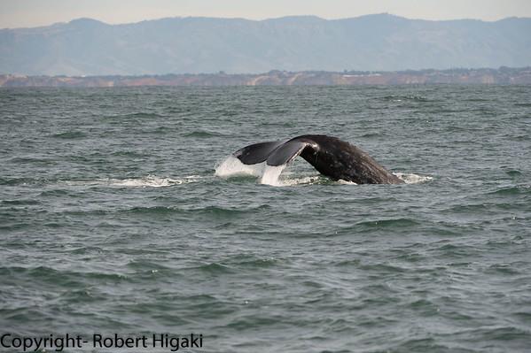 Gray Whales(Eschrichtius robustus), Monterey Bay