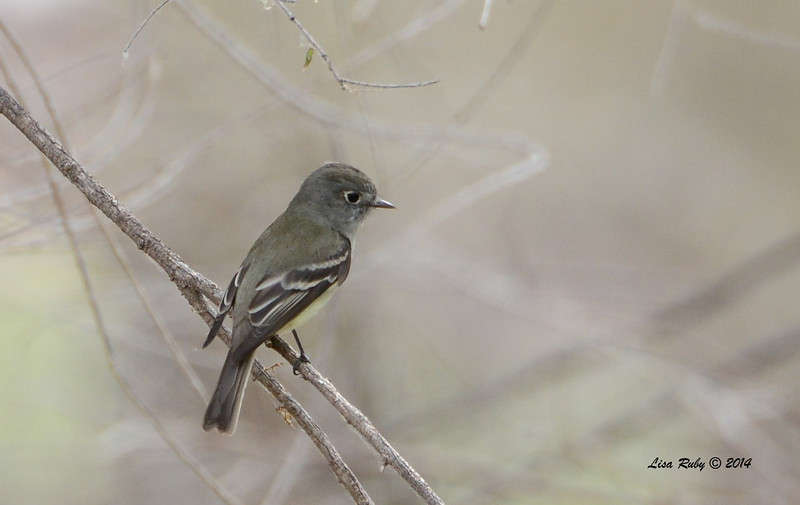 Hammond's Flycatcher - 4/19/2014 - San Pedro Riparian National Conservation Area, Sierra Vista, Az