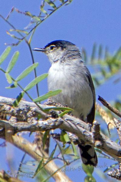 Black-tailed Gnatcatcher - Judith Sparhawk