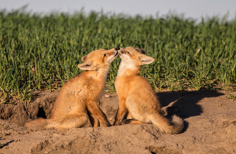 Fox Kits 1.jpg