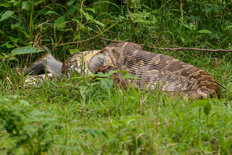 Indian Rock Python swallowing Gray Langur
