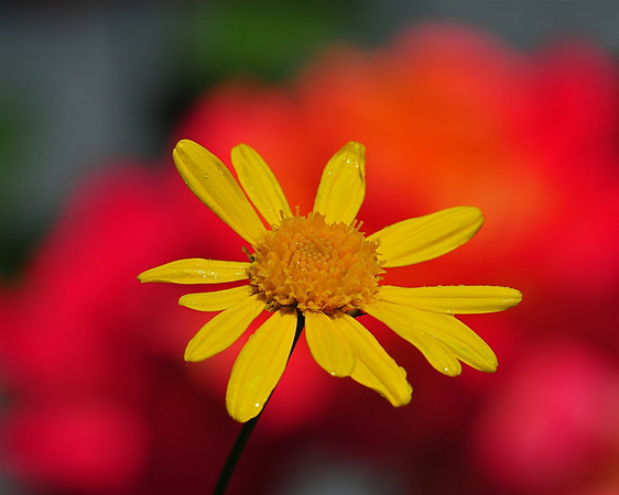 Colorful Daisy's