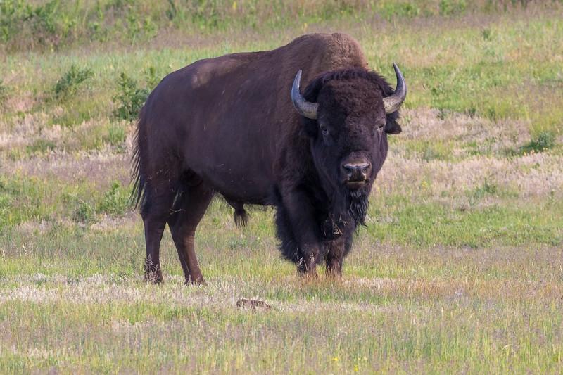 bison-3.jpg