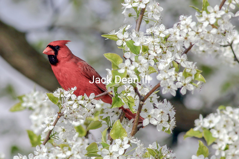 Northern Cardinal In Spring Blooms