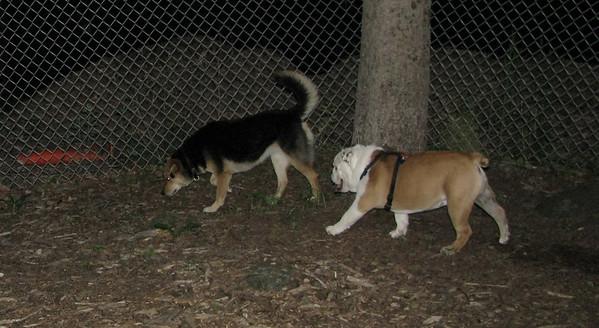 PICS JUNE 12::BUDDY (bulldog pup