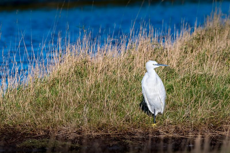 Little Egret (Scientific name: Egretta garzetta) at Cuckmere