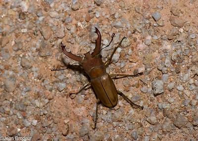 Malaysian Beetles - Coleopteres de Malaysie