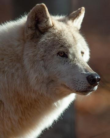 Lakota Wolf Preserve Remastered