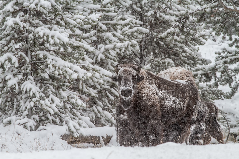 Bison in heavy snow Madison River Yellowstone National Park WY  IMG_1631.jpg