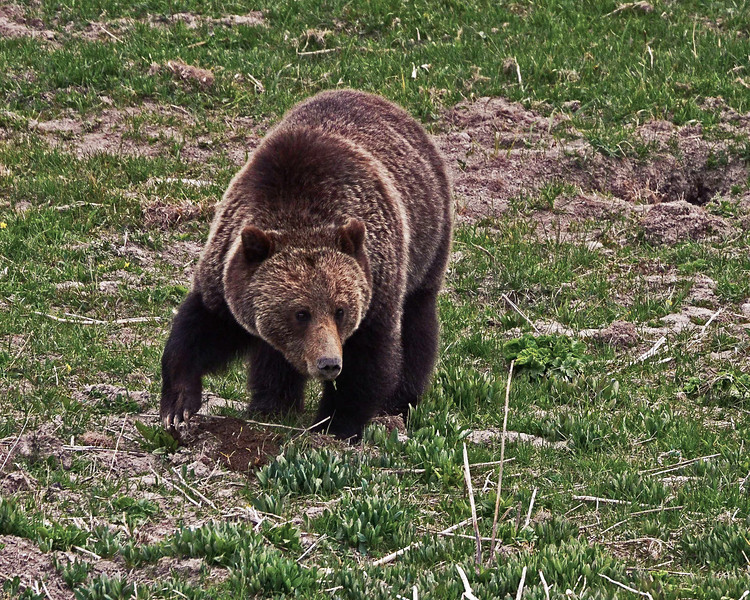 Grizzly Bear Digging Roots in the Spring, Greater Yellowstone Ecosystem.