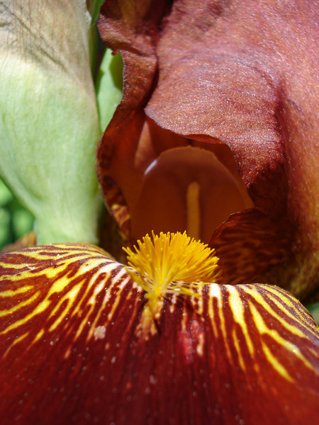 Bearded Iris 07-04-2010