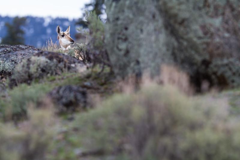 Pronghorn Yellowstone National Park WY IMG_7295.jpg