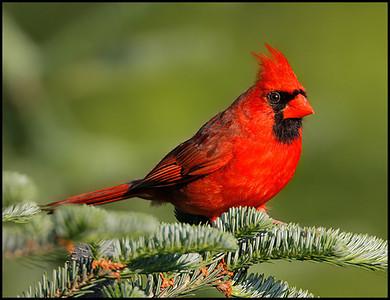Cardinals, Saltators & Allies