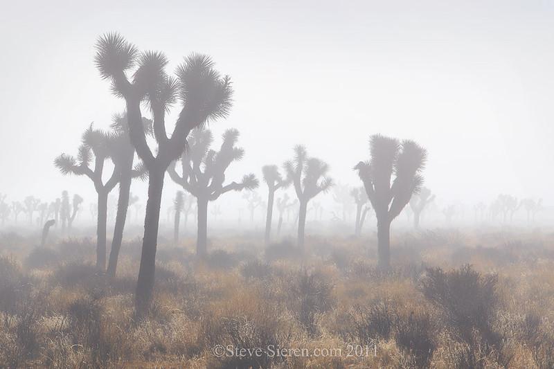 Joshua trees in fog at Joshua Tree National Park in the Mojave Desert