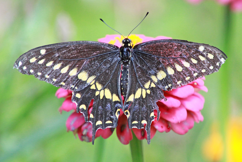 Eastern black swallowtail 591