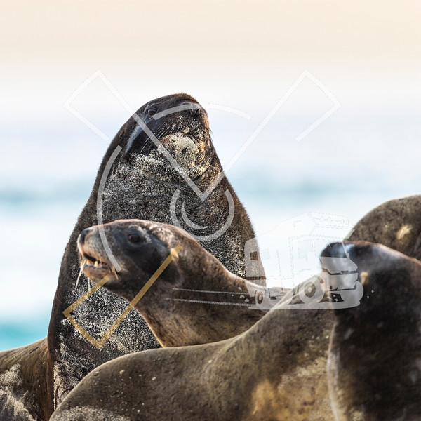 Large male bull of New Zealand Sea Lion among his harem