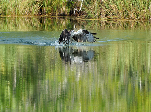 Osprey catching fish.jpeg
