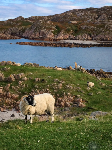 Sheep on the Isle of Mull, Scotland