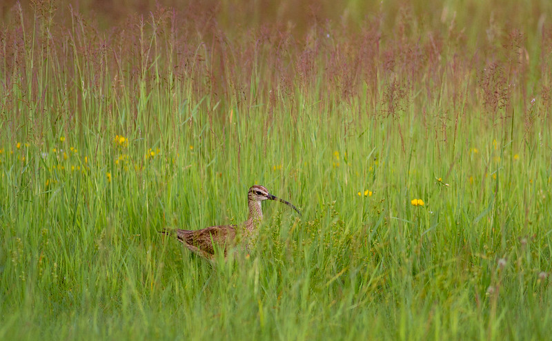 Whimbrel summering on Park Point Duluth MN -0258.jpg