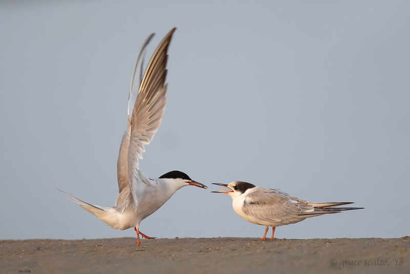 Common Tern adult feeding an insect to Juvenile