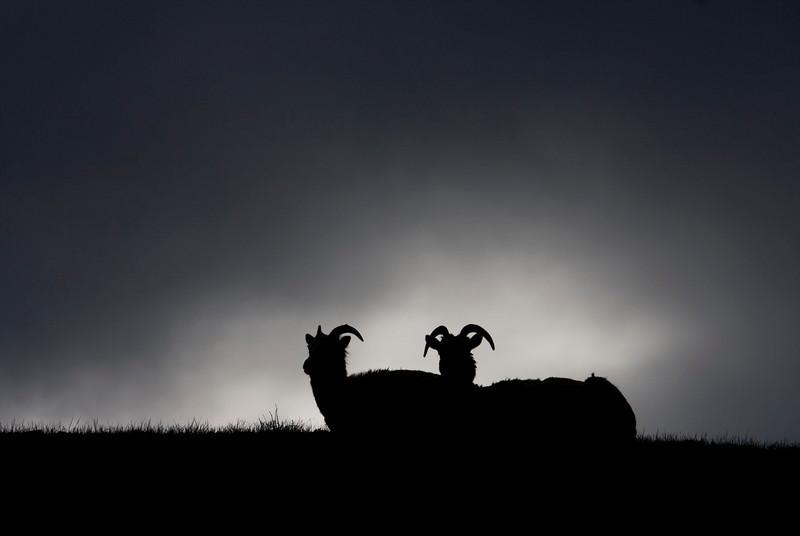 sheep-silh1.jpg