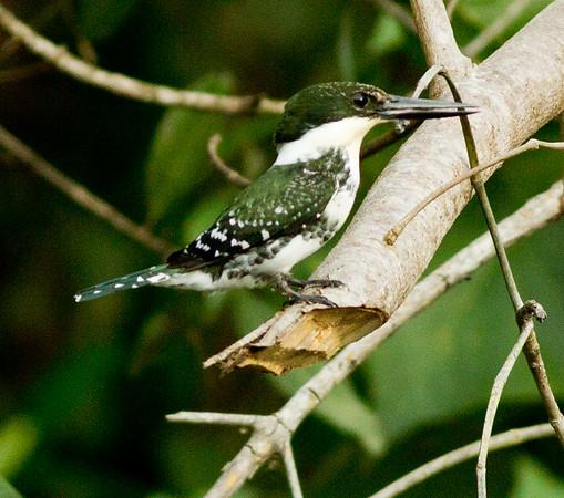 Green Kingfisher Chloroceryle americana