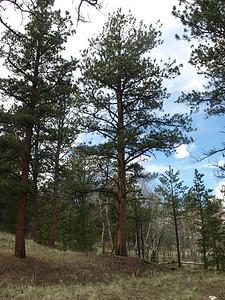 Ute Prayer and Medicine Trees in Colorado