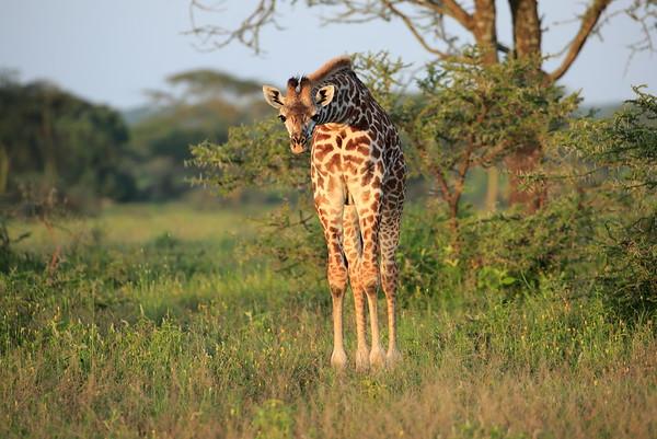 Giraffe Tanzania 2006 2009 2016