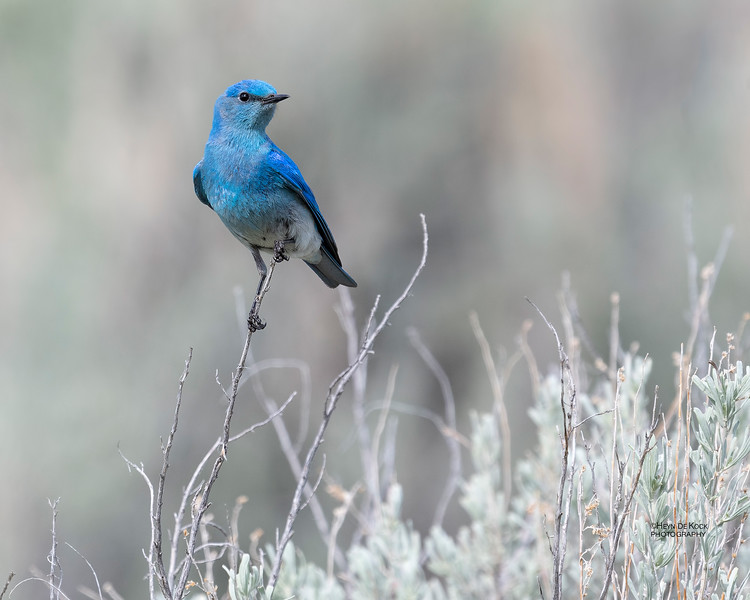 Mountain Bluebird, Yellowstone NP, WY, USA May 2018-2.jpg