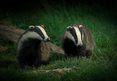 Badger workshop stills or video
