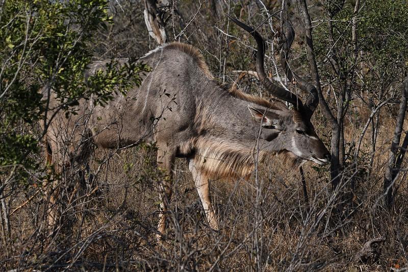 kruger-kudu04.jpg