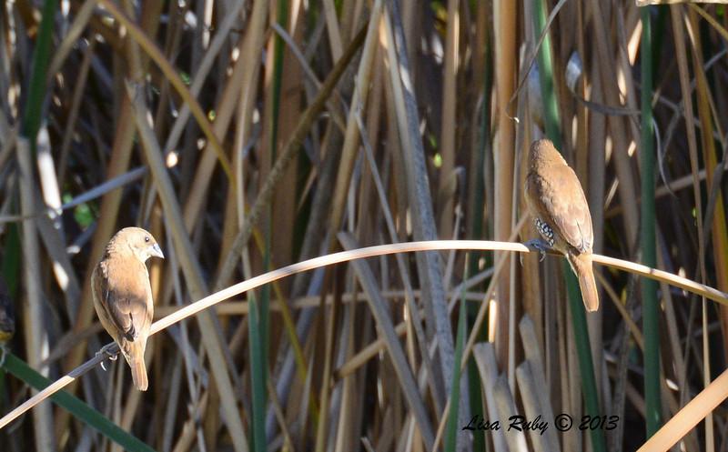 Surprise of the day - Nutmeg Mannikins - 12/23/13 - Santee Lakes