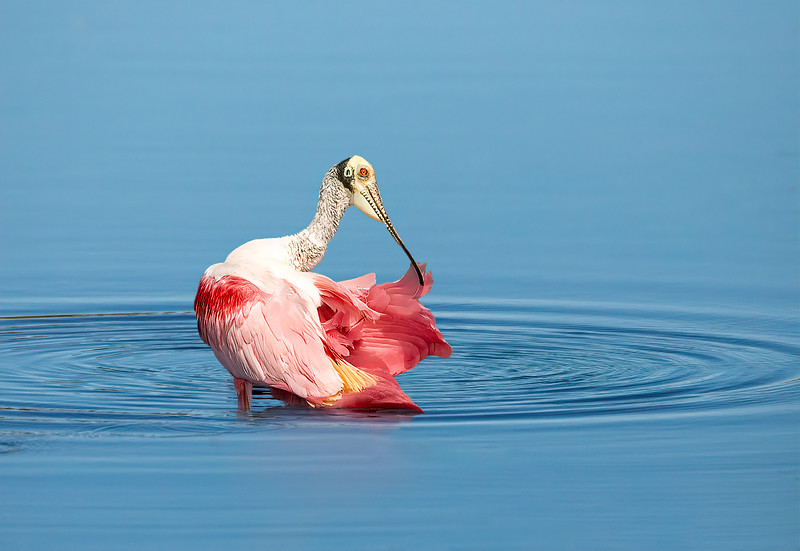 Roseate Spoonbill  -  What a beauty!