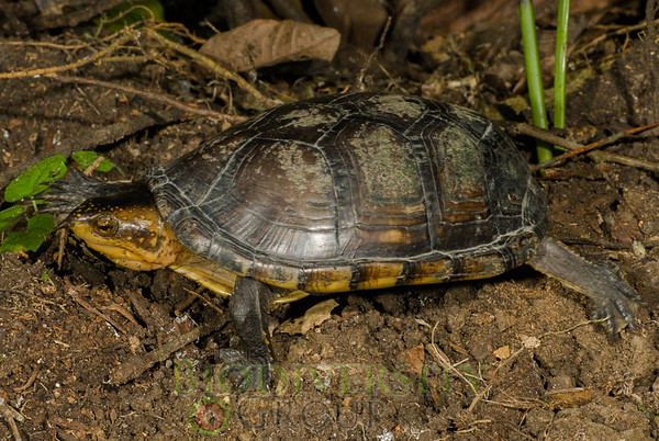 Mud Turtles (Kinosternidae)